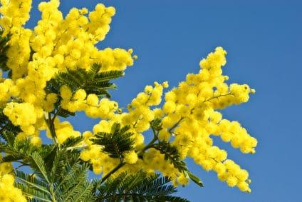 tenuta-la-marchesa-mimosa