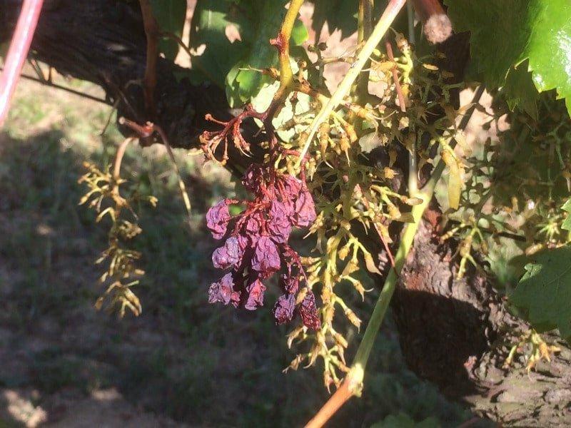 acini secchi uva