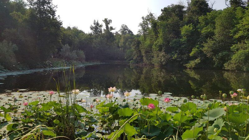 lago con fiori di loto