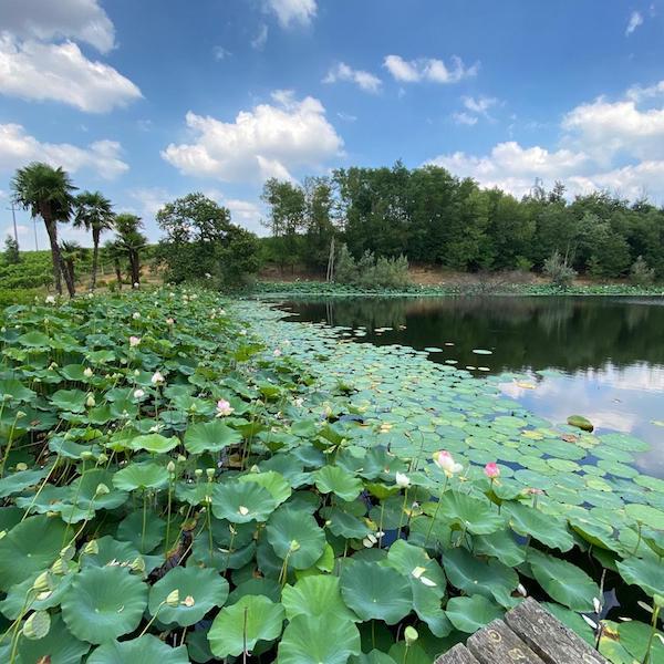 lago marchesa palme fiori loto
