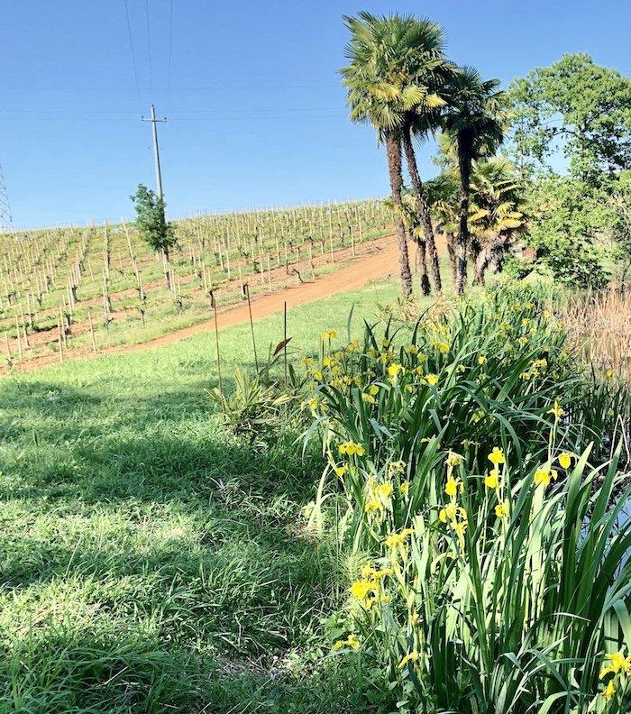 iris giallo lago marchesa